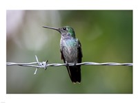 Blue-Chested Hummingbird - various sizes