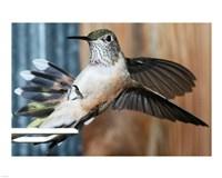 Broad-tailed Hummingbird Female Landing at Feeder - various sizes