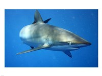 Carcharhinus Falciformis off Cuba - various sizes