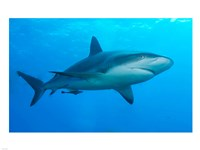 Carribbean Reef Shark Fine Art Print