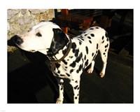 Dalmatian in Croatia - various sizes