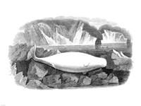 Delphinapterus Leucas Fine Art Print
