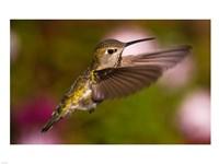 Fem Anna's Hummingbird - various sizes