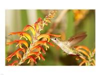 Female Anna's Hummingbird Feeding - various sizes
