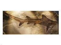 Galeorhinus Cuvieri - various sizes
