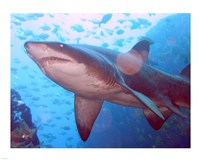 Grey Nurse Shark at Fish Rock Cave - various sizes, FulcrumGallery.com brand