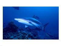 Grey Shark - various sizes