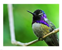 Hummingbird I - various sizes - $12.99