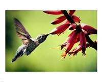 Hummingbird Canon - various sizes