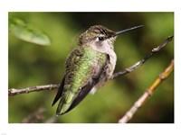 Hummingbird II - various sizes - $29.99