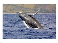 Humpback Whale Leaping Fine Art Print