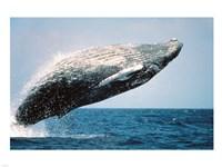 Humpback Whale Breaching Fine Art Print