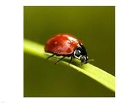 Ladybug On Blade Of Grass - various sizes