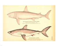 Porbeagle Basking Shark Drawing - various sizes