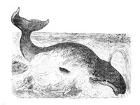 Whalebone Whale Fine Art Print