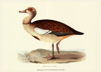 """Egyptian Goose by Vision Studio - 13"""" x 10"""""""