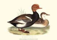 """Red-Crested Whistling Duck by Vision Studio - 13"""" x 10"""""""
