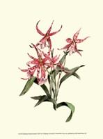 Miltassia Hybrid Orchid Fine Art Print