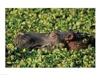 Hippopotamus in Water - various sizes