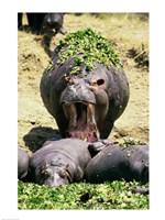 Group of Hippopotamus, one with mouth open (Hippopotamus Amphibius) - various sizes