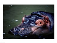 Close-up of a hippopotamus in water (Hippopotamus amphibius) - various sizes