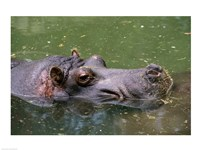High angle view of a hippopotamus in the water - various sizes