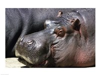 Hippopotamus Close Up Face - various sizes
