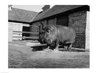 USA, Louisiana, New Orleans, Hippopotamus in zoo - various sizes