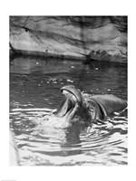 Hippopotamus (Hippopotamus amphibius) in water - various sizes