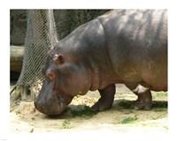 Face Hippopotamus Amphibius Mexico - various sizes, FulcrumGallery.com brand