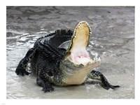 Alligator Mississippiensis Defensive - various sizes - $29.99