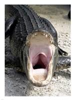 Alligator Mississippiensis Yawn - various sizes - $29.99