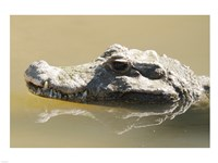 Caiman Displaying Fourth Tooth Fine Art Print