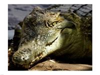 Crocodile - various sizes