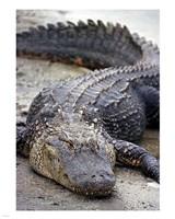 Florida Alligator Fine Art Print