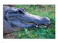 Alligator - in the grass - various sizes - $29.99
