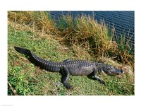 Alligator Everglades National Park Florida USA - various sizes - $29.99