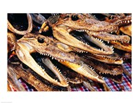 Close-up of the skulls of alligators - various sizes