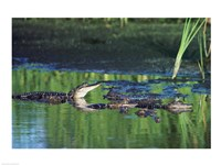 Group of American Alligators in water - various sizes