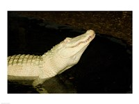 Close-up of an American alligator in a lake - various sizes
