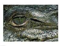 Close-up of the eye of an American Crocodile - various sizes