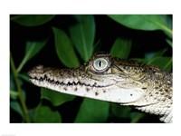 Close-up of an American Crocodile
