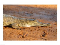 High angle view of an Australian Freshwater Crocodile - various sizes - $29.99