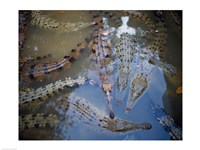 High angle view of crocodiles in a pool of water - various sizes - $29.99