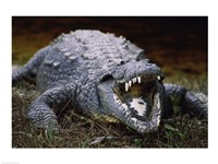 Close-up of an American Crocodile Open Mouth - various sizes