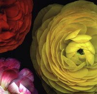 Ranunculus I Right Fine Art Print