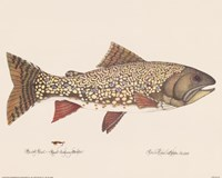 Brook Trout - Royal Coachman Bucktail Fine Art Print