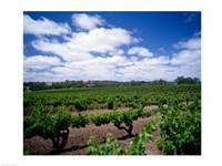 Panoramic view of vineyards, Barossa Valley, South Australia, Australia - various sizes