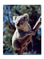Koala on a tree branch, Australia (Phascolarctos cinereus) Fine Art Print
