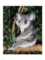 Koala sitting on a tree branch, Lone Pine Sanctuary, Brisbane, Australia (Phascolarctos cinereus) Fine Art Print